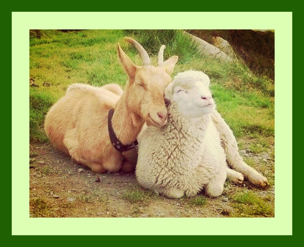 Sheep & Goat Love (photo)